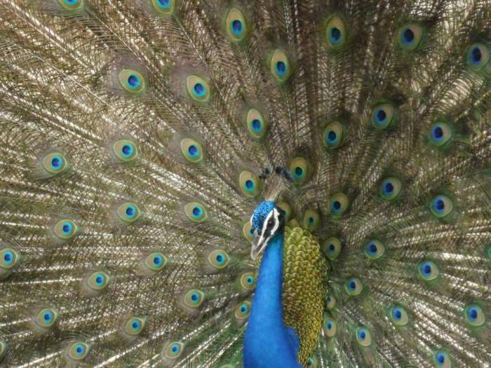 Colorful and beautiful - The Peacock Style   Wordless Wednesday