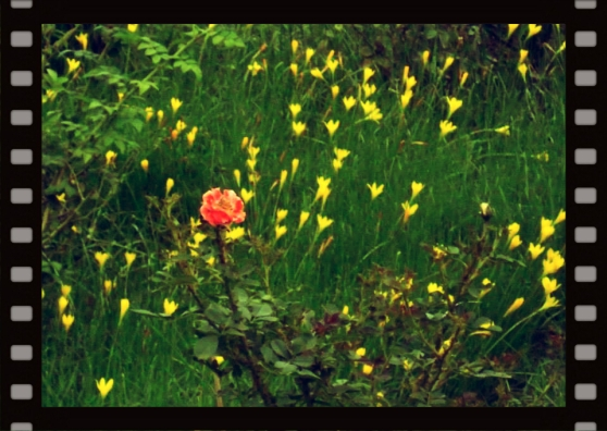 Wordless Wednesday : Lonely Pink standing high among Yellow