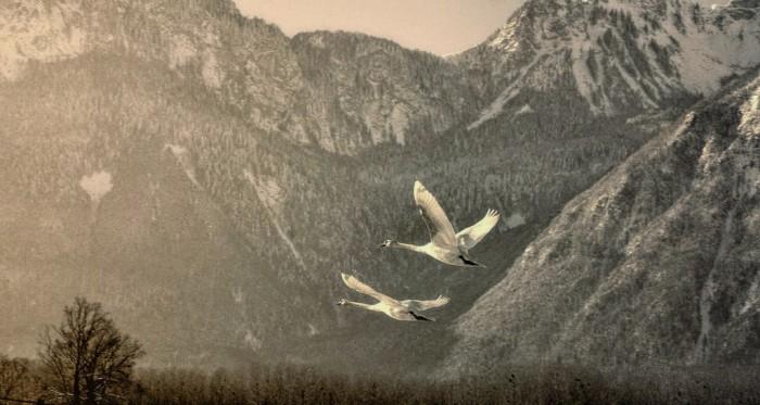 Swans2-1024x547